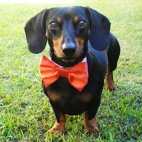 Wedding Dog Bow Tie: Cat Or Dog | Luulla