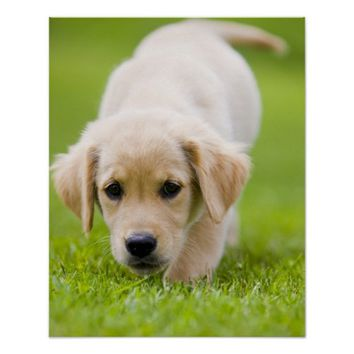Golden Retriever Puppy Playing Outdoors