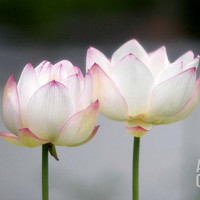 Lotus Flower Art Print by Shin Terada at Art.com