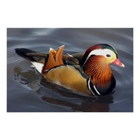 Duck Mandarin Male Poster