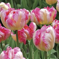 Silver Parrot Tulip - Pack of 10 - Pack of 10 at Jackson and Perkins
