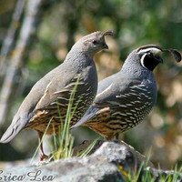 California Quail Print Woodland Decor Bird by NatureVisionsToo