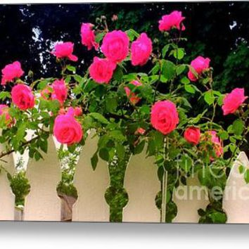 Pink Rose Pickets Acrylic Print