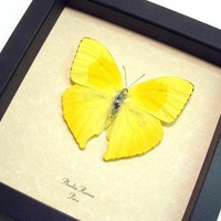 Yellow Butterfly 155 by REALBUTTERFLYGIFTS on Etsy