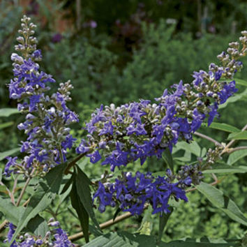 First Editions Delta Blues Chaste Tree (Vitex agnus-castus PIIVAC-I) at Wayside Gardens [2 quart]