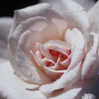 The Delicate Pale Pink Petals of a Dainty Cecil Brunner Rose, North Carlton, Australia Photographic Print by Jason Edwards at Art.com
