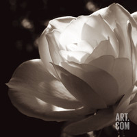 White Rose II Art Print by Malcolm Sanders at Art.com