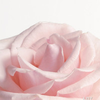 Powder Pink Rose I Premium Poster at Art.com