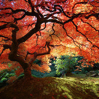 Beautiful Japanese Maple by Krissy Aldous.com / Krissy A. picture on VisualizeUs