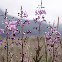 8 x 10 Fireweed in a sea of grass 8 x 10 Alaskan Fireweed flowers fine art print