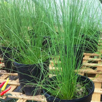 "ON SALE Juncus ""Twisted Arrow"" Grass"