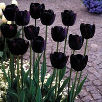 Bag Of Ten Tulip Queen Of The Night