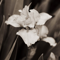 Fine Art Photo Print - Black and White Sepia Iris Flower Nature Botanical Floral Vintage Rustic Home Decor Wall Art - 8 x 8