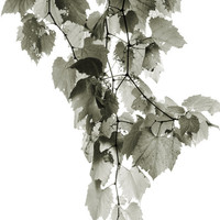 Fine Art Photograph - Vine Leaves Garden Black and White Wall Art Home Decor - 8 x 10