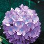 Penny Mac Blue Hydrangea