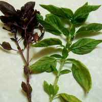 Basil For Protection, Love, and Wealth -- Magic Herb