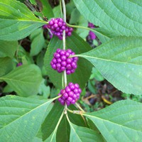 Beauty Berry Seeds Locally Wildcrafted 50 seeds