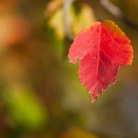 The Red Leaf - Nature Photography - Autumn  - 5x7 Color Photo - Home Decor - Wall Art