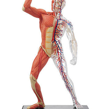 Human Muscular System Labeled