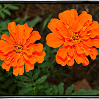 Vibrant Orange Marigolds Photo 5 x 7 Print/Macro Print/Orange Summer Flowers