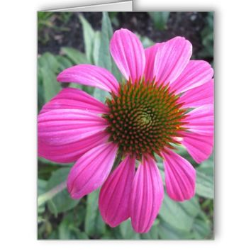 Pretty Pink Coneflower