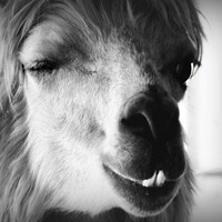 Llama Alpaca Photography pet,soft,furry,Gifts under 25,quirky,......