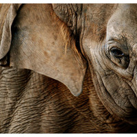 elephant photograph, animal and nature photography, gentle giant, detail of an asian elephant, home decor, wall decor