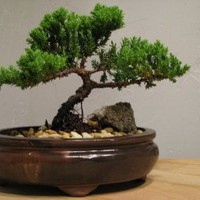 Juniper Tree Bonsai Best Gift