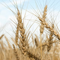 Golden Wheat Field - Yellow Grass Wheat Field Photo