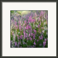 Beautiful Wild Heather  Framed Print By Alexandra Cook