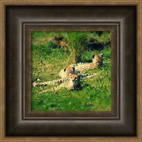 Cheetas From Chester Framed Print By Alexandra Cook