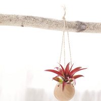 Small Hanging Planter for Air Plant with Tillandsia Abdita