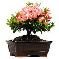 Flowering Azalea Bonsai Tree