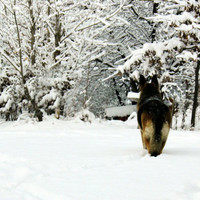 German Shepherd Photograph dog,pet photography,gifts under 25,winter,snow, FREE SHIPPING