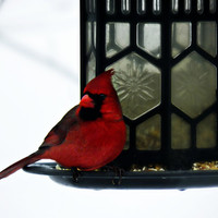 Cardinal Bird Photography Red,Gifts under 25,male,winter,closeup,woodland