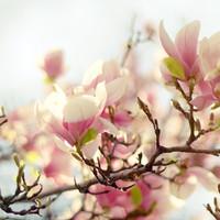 photo print Blooming Magnolia spring blossom by GoldenSection