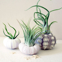 mixed trio // air plant urchins