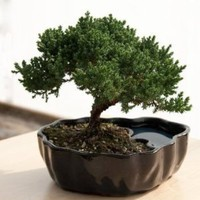 Amazon.com: Zen Reflections Juniper Bonsai: Home & Kitchen