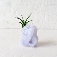 $50.00 Air Plant on Special India Crystal Cave by EarthSeaWarrior
