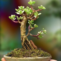 $54.00 An Indoor Bonsai Tree by timtierney on Etsy