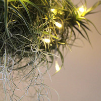 sparkle light  // air plant // by robincharlotte