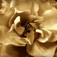 Rose Floral Photography Gold,flower,classic,Gifts under 25,bisque,ivory,