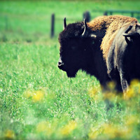 Buffalo Bison Art Photography Gifts under 25,nature,brown,green,decor free shipping