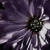 Aster Floral Photography Purple,flower,Gifts under 25,silver,petals,blossoms,bloom,gray