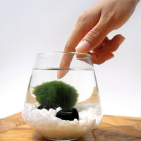 Marimo Pet in the Arctic Sea by wendiland on Etsy
