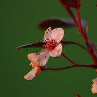 Cherry Flower Photo Sakura 5x7 Glossy Print of by Valiantstudios