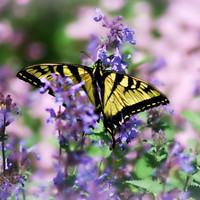 Butterfly Photography Art,Gifts under 25,admiral,yellow,purple flower,insect,critter,swallowtail