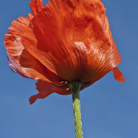 Poppy Art Print by Steve Purnell | Society6