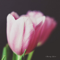 spring, tulips, pink, green, black, still life, fine art photography