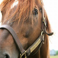chestnut Thoroughbred horse portrait 5x7 art photograph, Presence | LibertyImages - Photography on ArtFire